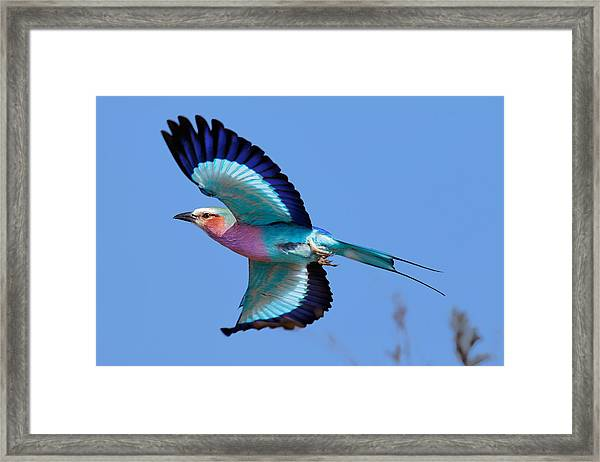 Lilac-breasted Roller In Flight Framed Print
