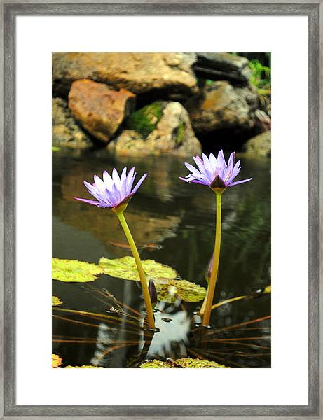 Lillies Of The Pond Framed Print