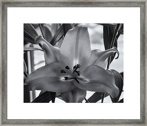 Lily 16 Framed Print