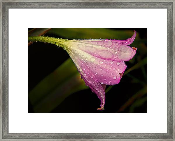 Lily In The Rain Framed Print