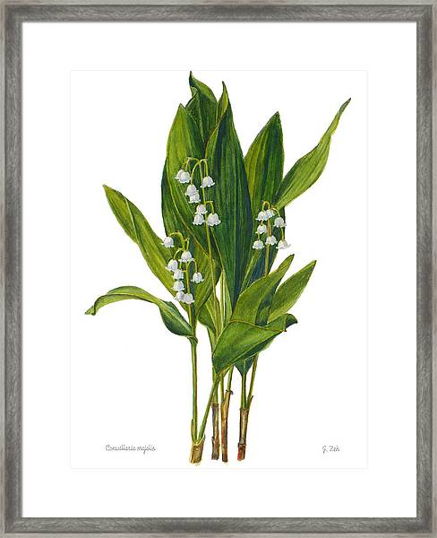 Lily Of The Valley - Convallaria Majalis Framed Print