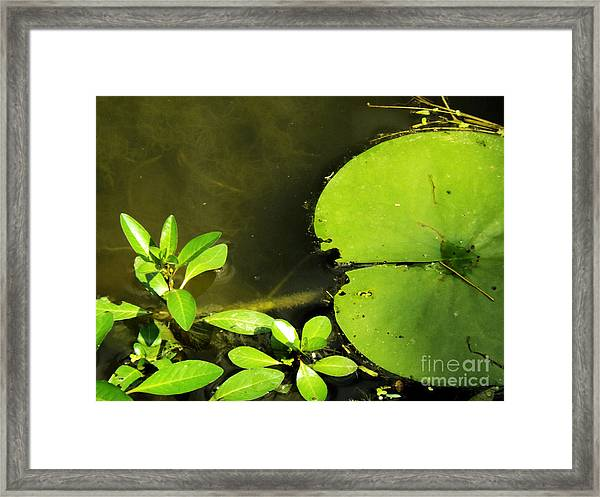 Lily Pad Framed Print