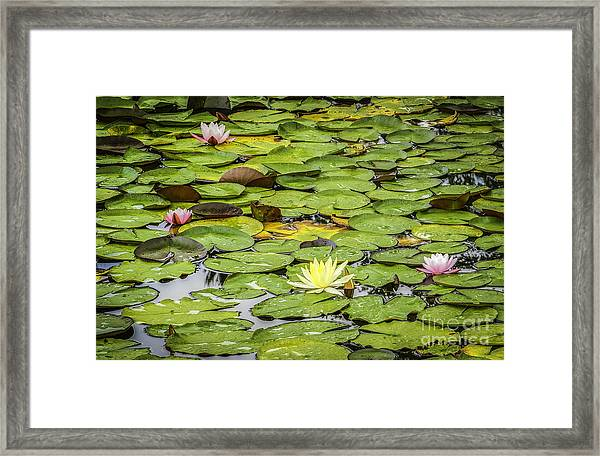 Lily Pads II Framed Print