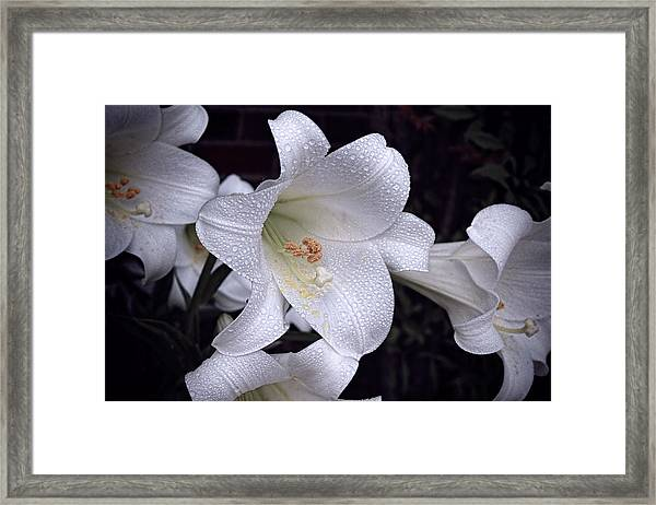 Lily With Rain Droplets Framed Print