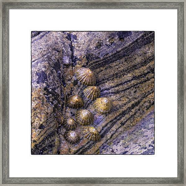 Limpets On Rocks Framed Print by George Hodlin