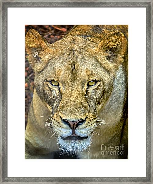 Lion Closeup Framed Print