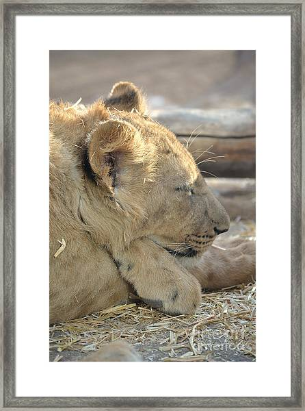 Lion Cub Dozing In The Sun Framed Print