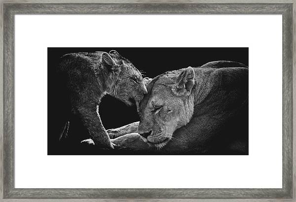 Lion Family Framed Print