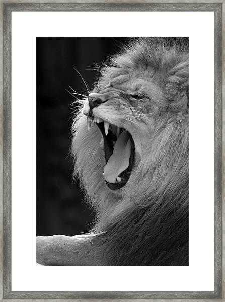 Lion Roar Black And White  Framed Print