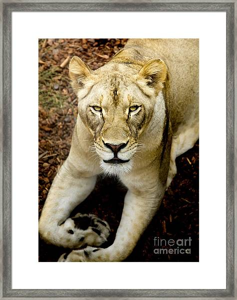 Lion-wildlife Framed Print