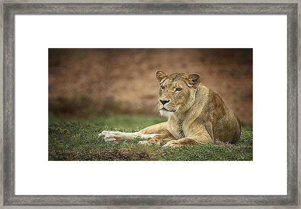 Lioness Framed Print