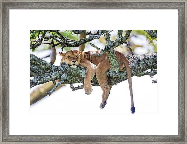 Lioness Panthera Leo Framed Print