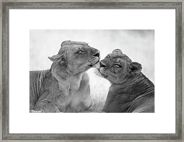 Lions In B&w Framed Print by Marco Pozzi