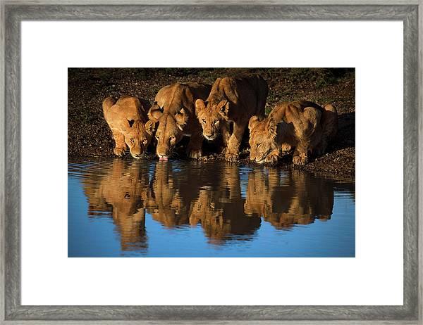Lions Of Mara Framed Print
