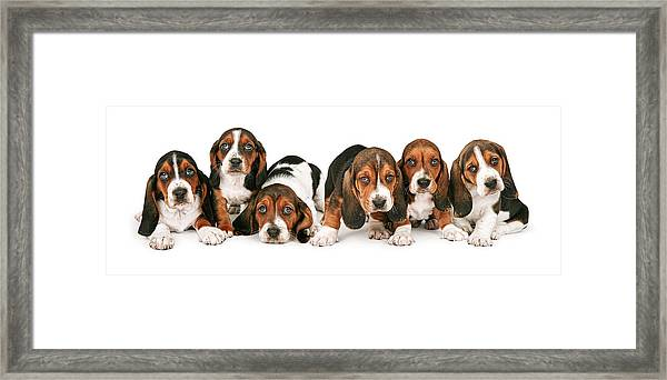 Litter Of Basset Hound Puppies Framed Print