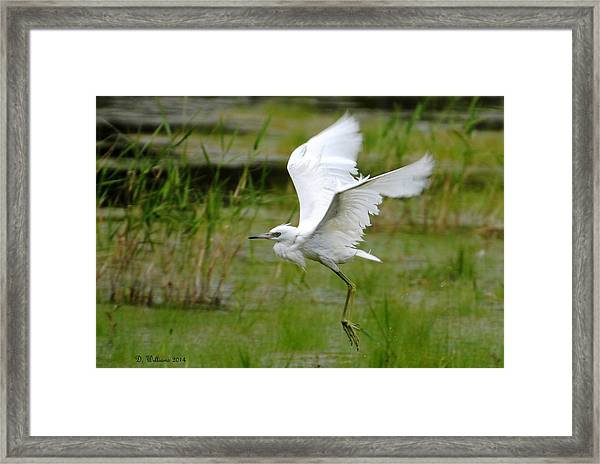 Little Blue Heron In Flight Framed Print