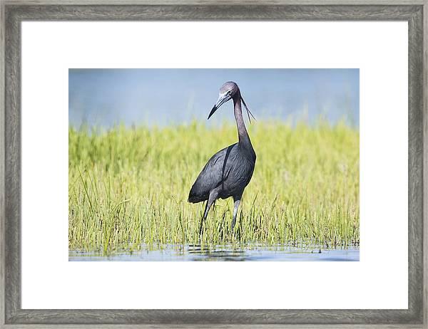 Little Blue Heron In The Marsh Framed Print