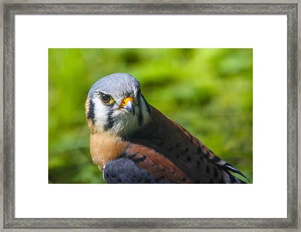 Little Falcon Framed Print by Jill Bell