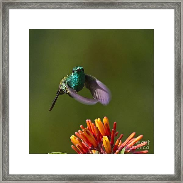 Little Hedgehopper Framed Print
