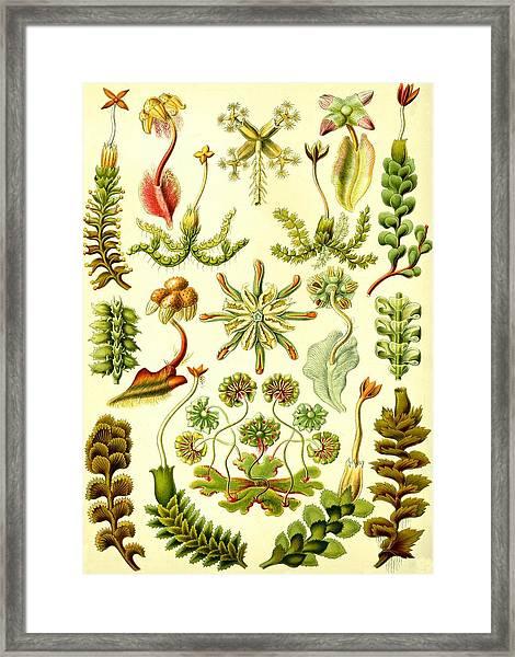 Liverworts Moss Brunnenlebermoos Haeckel Hepaticae Framed Print