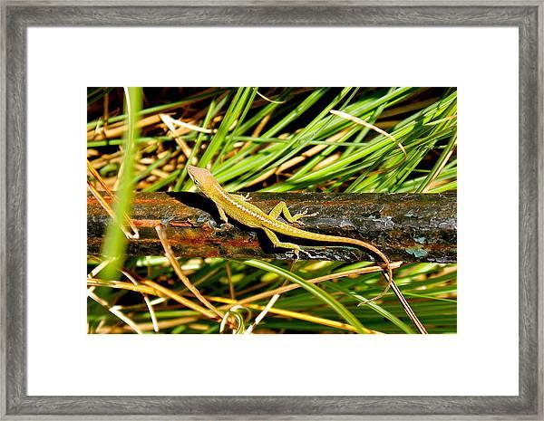 Lizard Framed Print