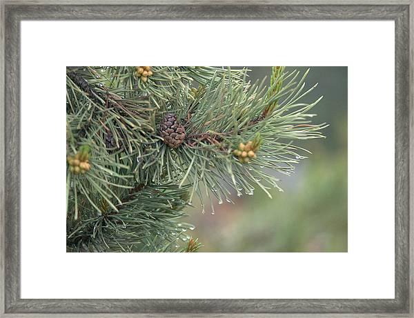 Lodge Pole Pine In The Fog Framed Print