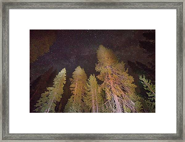 Lodgepole Pines Framed Print