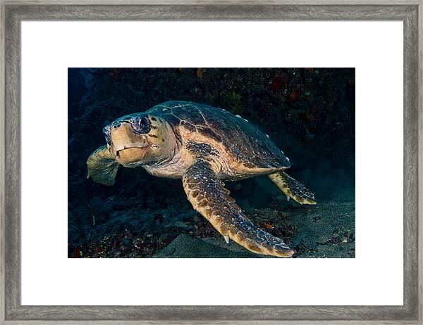 Loggerhead Turtle Under Ledge Framed Print