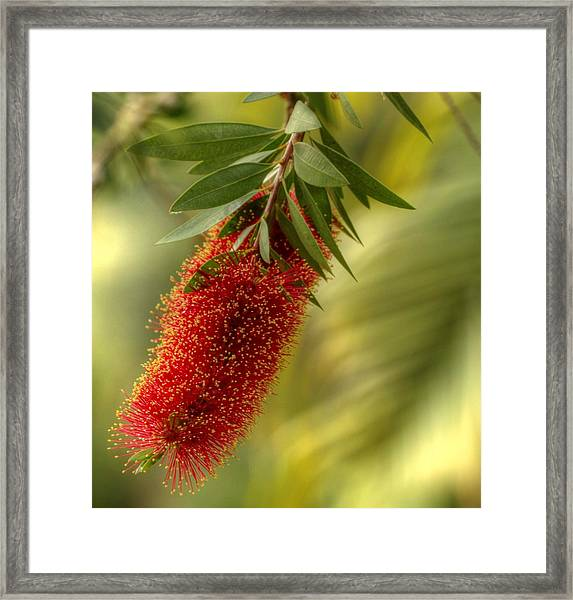 Lone Bottlebrush Framed Print