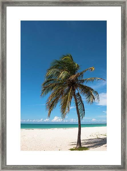 Lone Palm Tree, Palm Beach, Aruba Framed Print