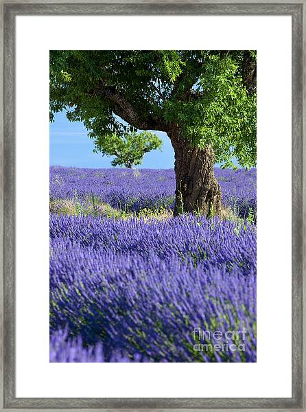 Framed Print featuring the photograph Lone Tree In Lavender by Brian Jannsen