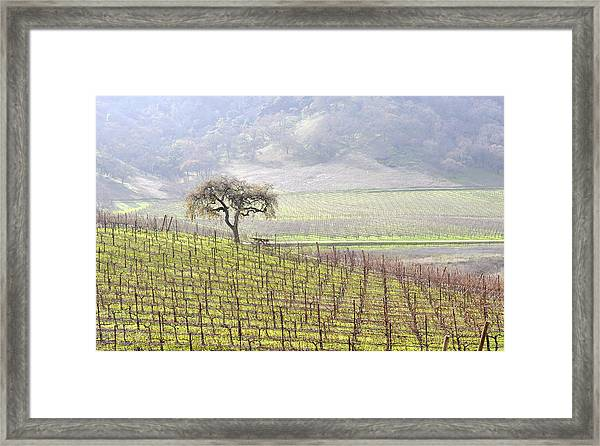 Lone Tree In The Vineyard Framed Print
