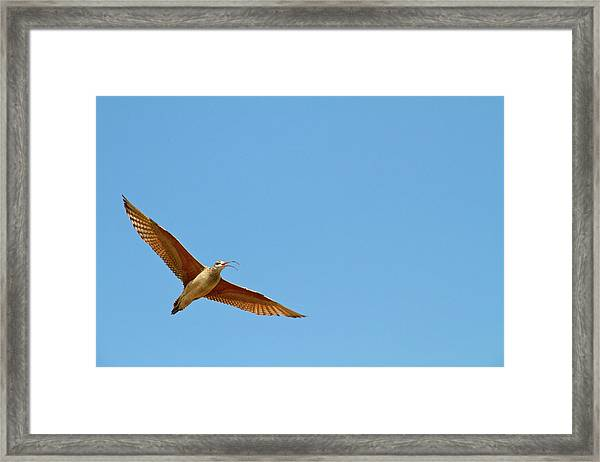 Long-billed Curlew In Flight Framed Print