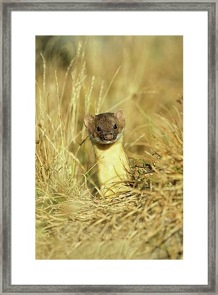 Long-tailed Weasel (mustela Frenata Framed Print by Richard and Susan Day