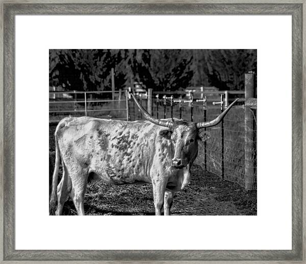 Framed Print featuring the photograph Longhorn Steer Down by William Havle