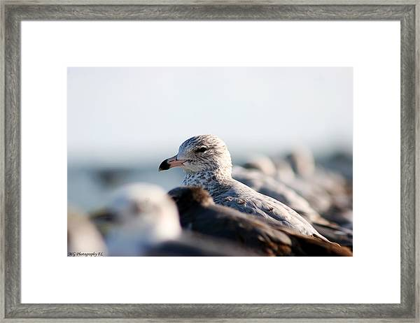 Looking Seagull Framed Print