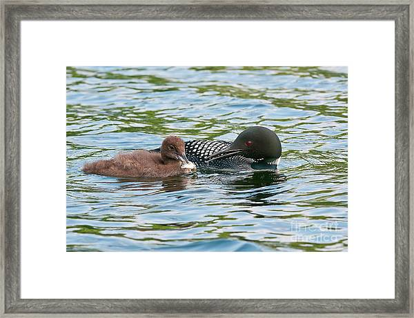 Loon And Baby Framed Print
