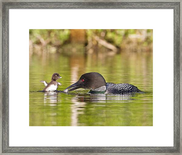 Loon Chick Excited For Breakfast Framed Print