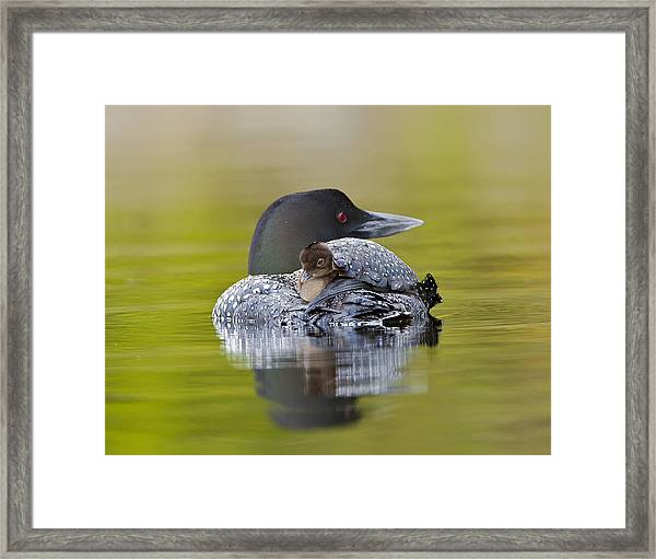 Loon Chick Resting On Parents Back Framed Print