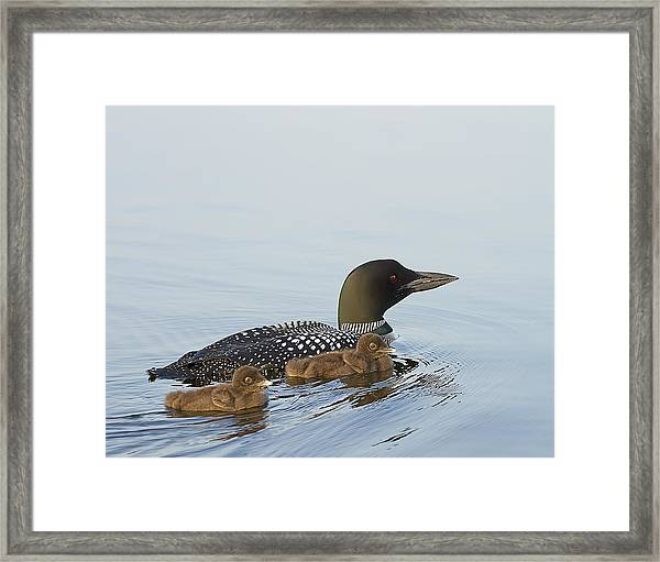Loon Chicks Cruising With Mom Framed Print