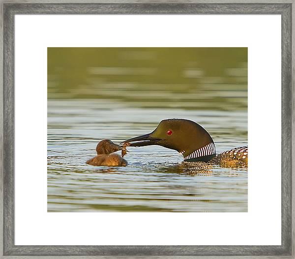 Loon Feeding Chick Framed Print