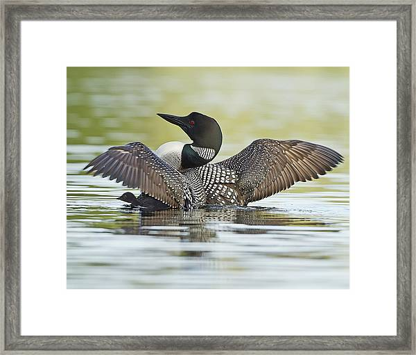 Loon Wing Spread With Chick Framed Print