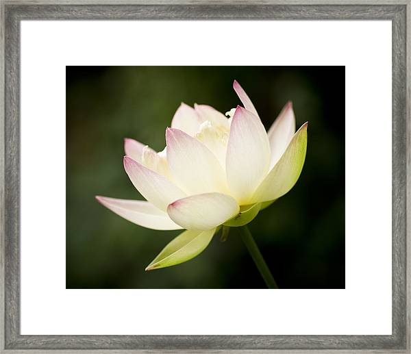 Framed Print featuring the photograph Lotus Glow by Priya Ghose
