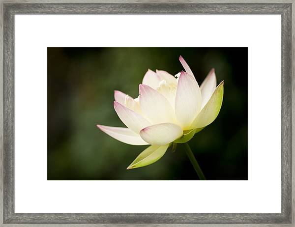 Framed Print featuring the photograph Lotus by Priya Ghose