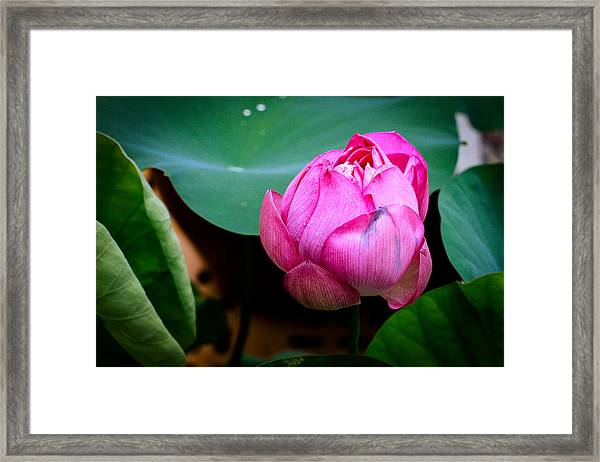 Lotus Singapore Flower Framed Print by Donald Chen