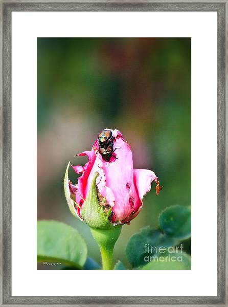 Love Bugs Framed Print