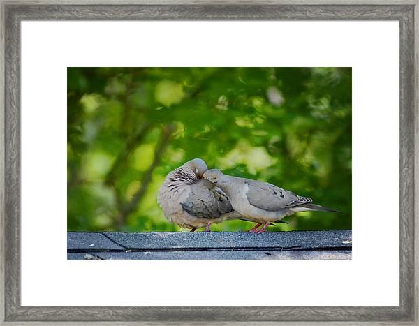 Love Doves  Framed Print