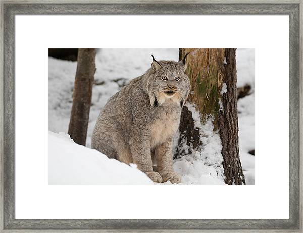 Lovely Lynx Framed Print