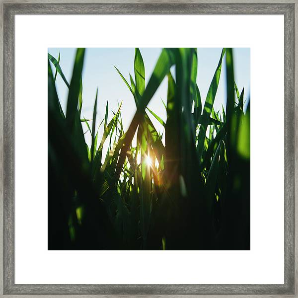 Low Angle View Of Green, Lush Field Of Framed Print