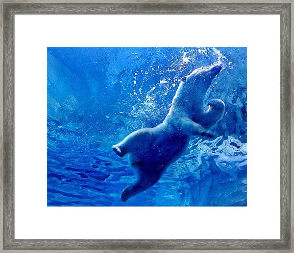 Low Angle View Of Polar Bear Swimming Framed Print